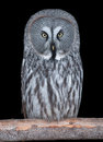 Free Great Grey Owl Isolated On Black Royalty Free Stock Images - 29532159