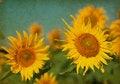 Free Sunflowers Stock Photos - 29532653