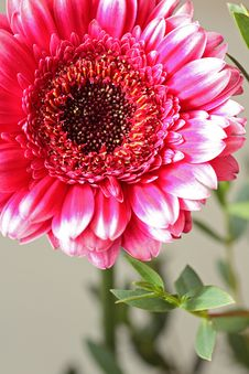 Free Beautiful, Artistic Gerbera Flower Royalty Free Stock Image - 29530786