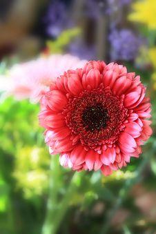 Free Beautiful, Artistic Gerbera Flower Stock Images - 29530844