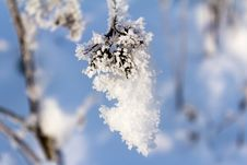 Free Hoarfrost On The Branch Of Bush As A Cluster On A Background Sky Stock Photo - 29532440
