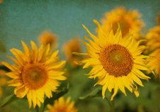 Free Sunflowers Stock Photos - 29532653