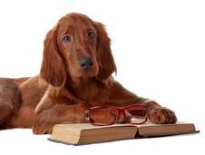 Free Setter Puppy With Glasses And Book. Isolated On White Royalty Free Stock Images - 29535709