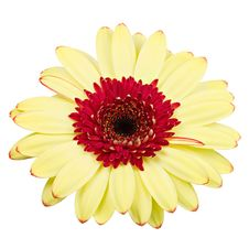 Free Yellow Gerber Flower Isolated On White Stock Images - 29536814