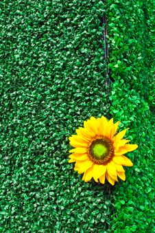 Free Invent Sunflower Stock Images - 29537334
