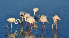 Free Lesser Flamingo Stock Photo - 29537950