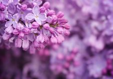 Free Lilac Stock Photos - 29538153