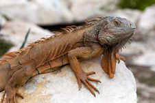 Free Iguana In Cancun, Mexico Royalty Free Stock Photo - 29538465