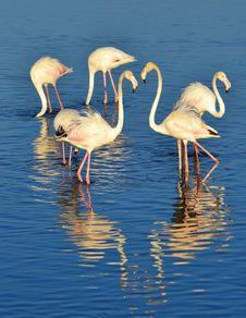 Free Lesser Flamingo Stock Photos - 29538513