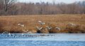 Free Tundra Swans And Canadian Geese Stock Photos - 29545973