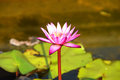 Free Pink Lotus Blooming On Pond Royalty Free Stock Image - 29548246