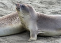 Free Seal Pup Stock Images - 29549964