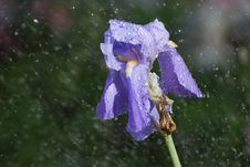 Sunshower On Iris Royalty Free Stock Photography