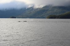 Free Humpback Whales In Alaska Royalty Free Stock Photo - 29540985