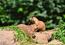 Two Prairie Dogs Royalty Free Stock Photo