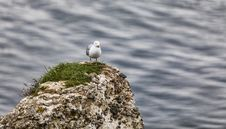 Free The European Herring Gull On The Etretat Cliffs Royalty Free Stock Images - 29544349