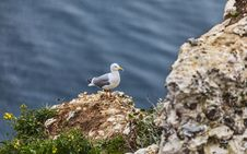 Free The European Herring Gull On The Etretat Cliffs Stock Images - 29544514