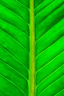Free Fresh Green Leaf Royalty Free Stock Photography - 29545187