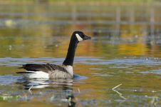 Free Goose And Autumn Colors Stock Photography - 29545212