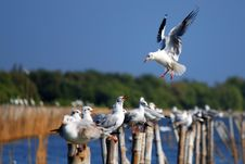 Free Landing Seagull Stock Photos - 29545283