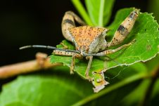 Stink Bug Stock Photos