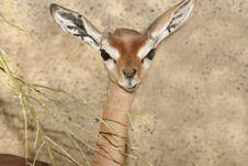 Free Gerenuk Royalty Free Stock Image - 29548556