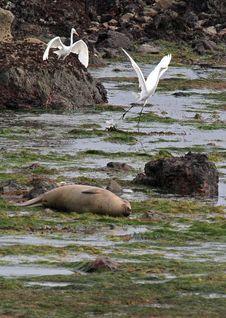 Free Seal Heron Royalty Free Stock Image - 29548746