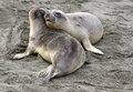 Free Seal Pups Stock Photography - 29550242
