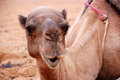 Free Sitting Camel Stock Image - 29551011