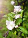 Free Apple Flowers Royalty Free Stock Photos - 29559788