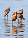 Free Shore Birds Stock Image - 29559821