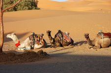 Free Sitting Camels Stock Photography - 29551002