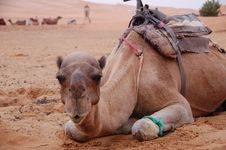 Free Sitting Camel Royalty Free Stock Image - 29551016