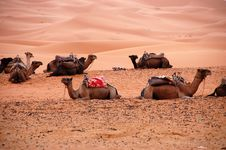 Free Sitting Camels Royalty Free Stock Photo - 29551055