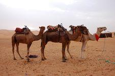 Free Camel Stock Photos - 29551073