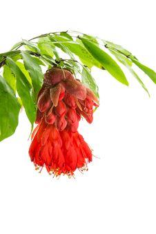 Free Rose Of Venezuela Stock Photography - 29553152
