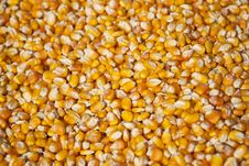 Free Corn Seeds Royalty Free Stock Photos - 29557108