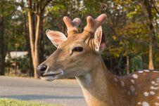 Free Young Deer Royalty Free Stock Photo - 29558055