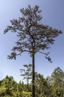 Free Die Pine Trees In The Forest With Blue Sky Stock Photography - 29558322