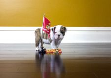Free Bulldog Marine Royalty Free Stock Photo - 29558435
