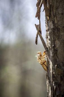Free Cicada Shell Stock Image - 29558631