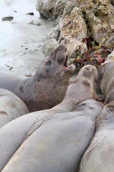 Free Seals Royalty Free Stock Photo - 29559035