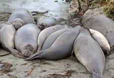 Free Seals Royalty Free Stock Photo - 29559725