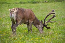 Free Deer Royalty Free Stock Photo - 29559825