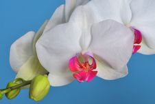 Free Phalaenopsis Orchid Royalty Free Stock Photography - 29559987