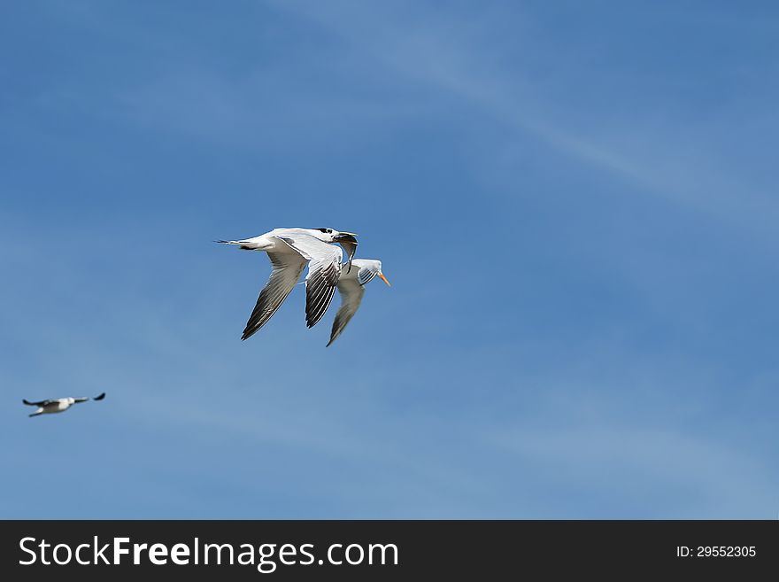 Terns in fly