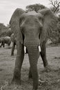 Free Elephant In South Africa Stock Image - 29564251