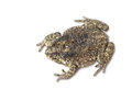 Free Toad Royalty Free Stock Image - 29565466