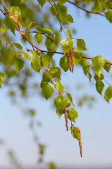 Branches Of Birch In Spring Stock Photos