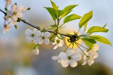 Free Branch Of The Cherry Blossoms Royalty Free Stock Photos - 29560158